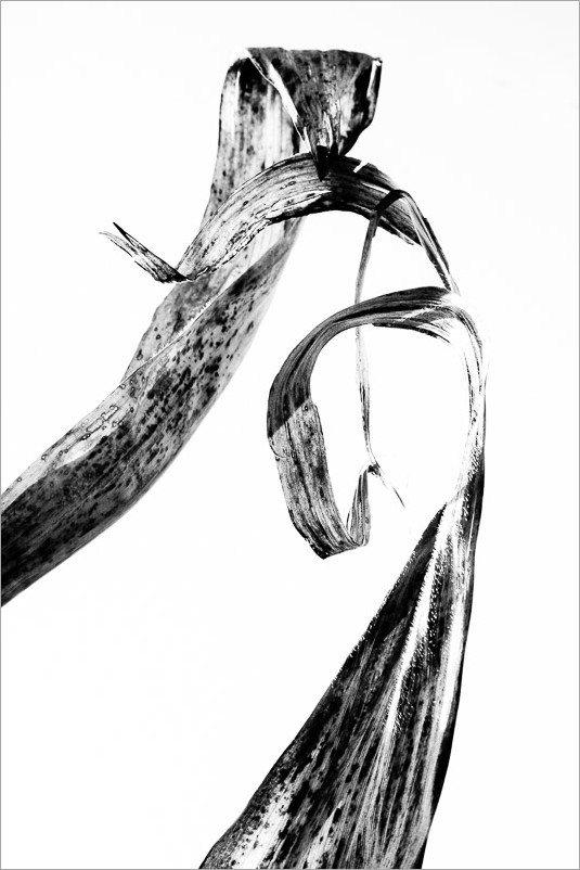 calligraphie-des-champs-feuilles-mais-2-noir-et-blanc-credit-Regine-Heintz.jpg