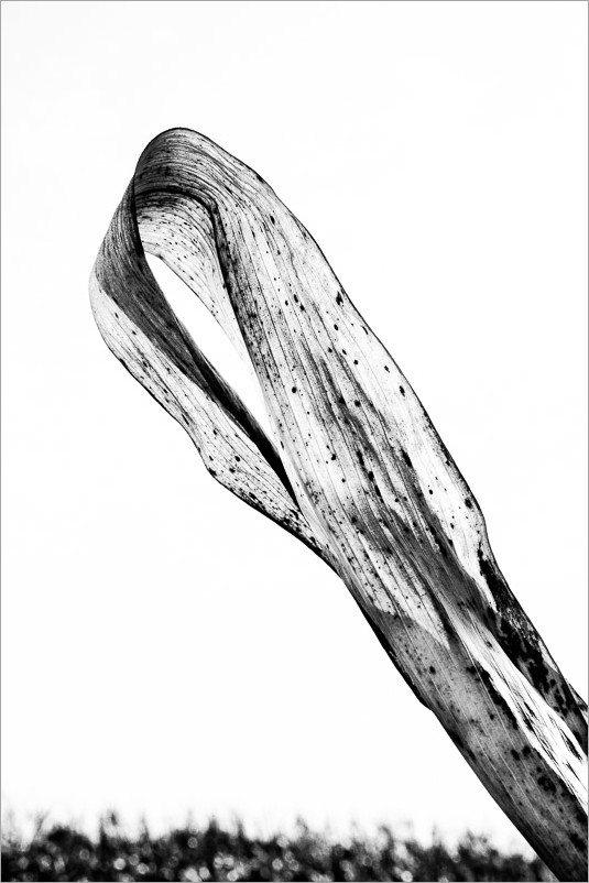 calligraphie-des-champs-feuilles-mais-3-noir-et-blanc-credit-Regine-Heintz.jpg