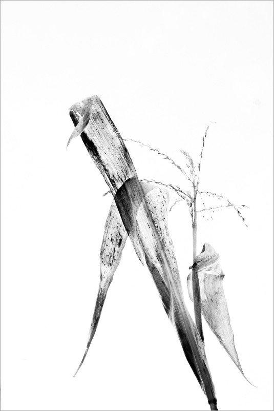 calligraphie-des-champs-feuilles-mais-6-noir-et-blanc-credit-Regine-Heintz.jpg