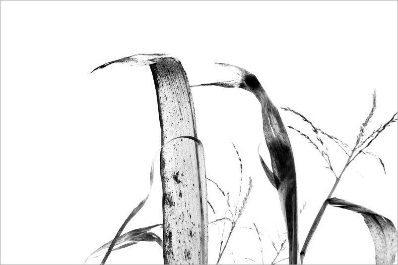 calligraphie-des-champs-feuilles-mais-7-noir-et-blanc-credit-Regine-Heintz.jpg