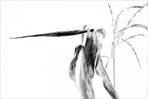 calligraphie-des-champs-feuilles-mais-8-noir-et-blanc-credit-Regine-Heintz.jpg